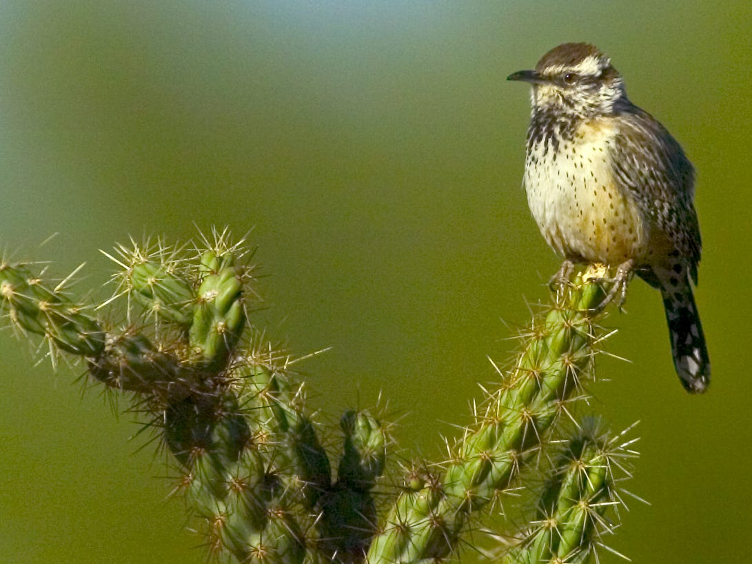 It may be small, but the cactus wren - Arizona's official state bird - knows to nest in places where predators fear to tread.