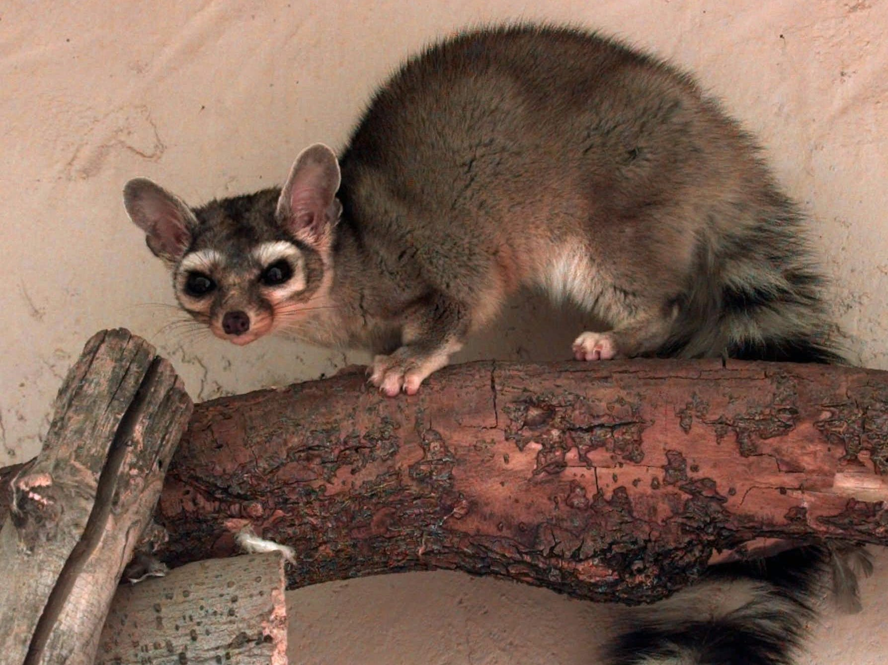 Easy to argue that the ringtail is Arizona's most adorable state symbol. The nocturnal animal with a cat-like body and raccoon tail is Arizona's official state mammal.