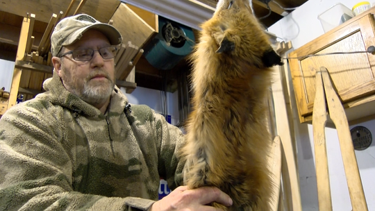 Ralph Wagner of the Pa. Trappers Association puts a fox pelt on a stretching board inside the fur shed at his home. Wagner said trapping was a good way to spend quality time with his two sons when they were young.