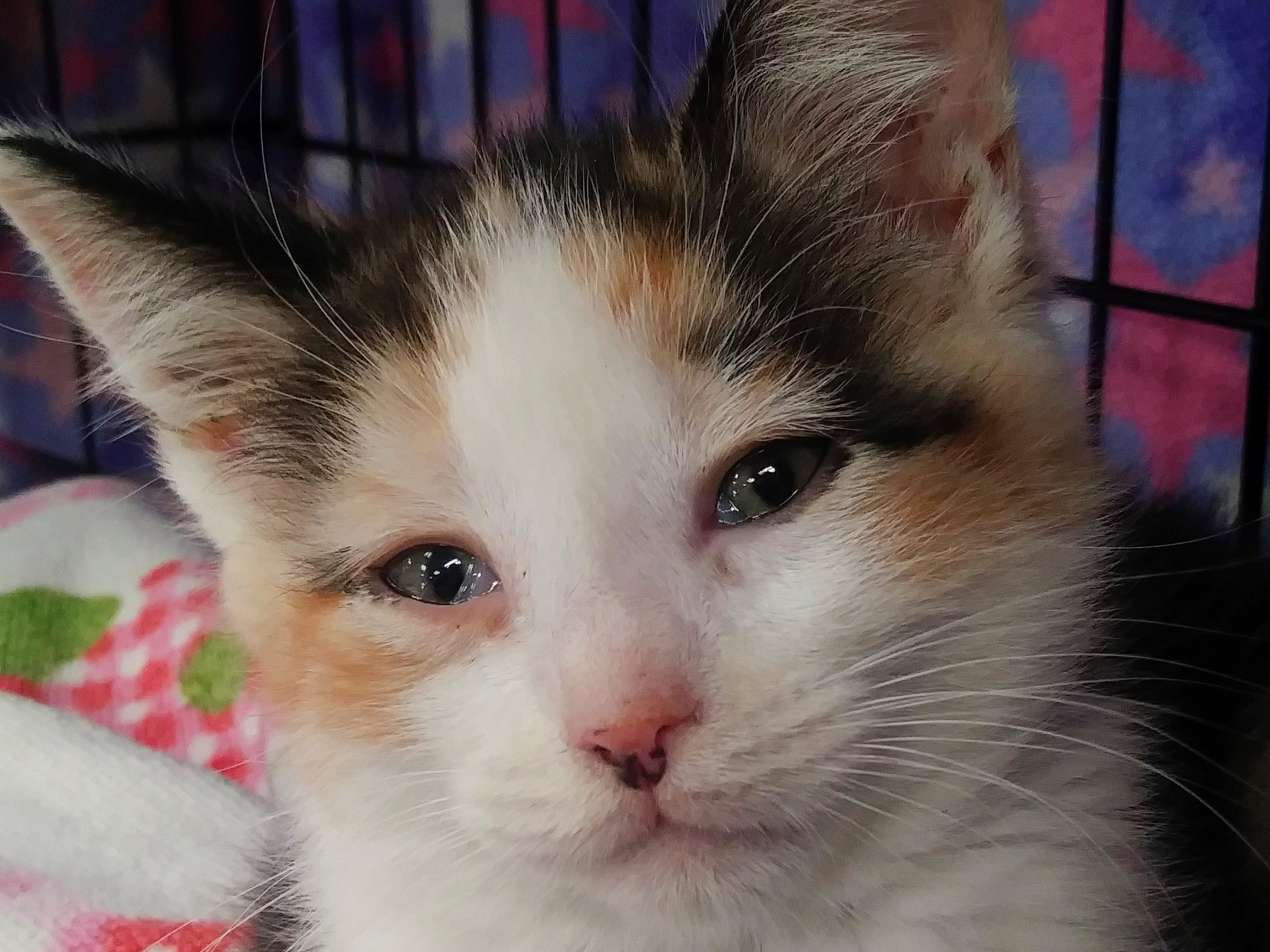 Juno is a 10-week-old, female calico kitten. She's very playful and loves attention. Email Spay Neuter and Protect at Snap.spayneuterandprotect@gmail.com. Call 209-6966.