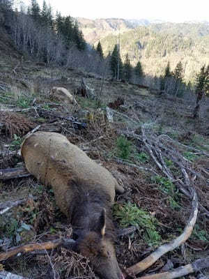 Three cow elk were killed and left to waste in Tillamook County in early January.