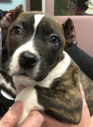 An eight-week old pit bull named Waffles is recovering after he was found with his ears cut halfway on Tuesday, Jan. 22, 2019.
