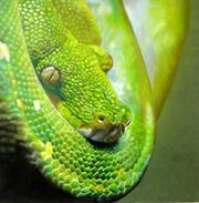 """Allison Clark's """"Morelia Viridis"""" will be featured in the """"Art is..."""" exhibition at R.W. Norton Art Gallery."""
