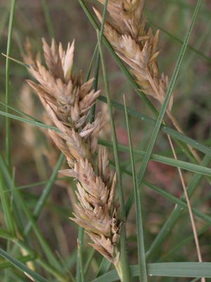 Spikegrass is native to the United States and often grows behind dunes.