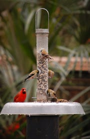 Northern cardinal and American goldfinch dining at Native Nurseries' squirrel and raccoon proof feeder.