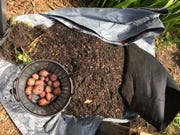 With a grow bag, once the tops turn yellow signifying harvest time, you can empty the contents of the bag on a tarp, sort out the potatoes, reuse the soil elsewhere, and wash the bag for use next year.