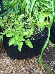 Grow bags make excellent containers for growing potatoes in your own backyard.