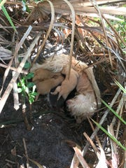 Juniper nurses her puppies in a Palmetto brush.