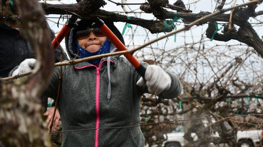 "Central Valley Farmworker Foundation members compete in the ""Central Valley Pruning Competition"" earlier this month in Delano."