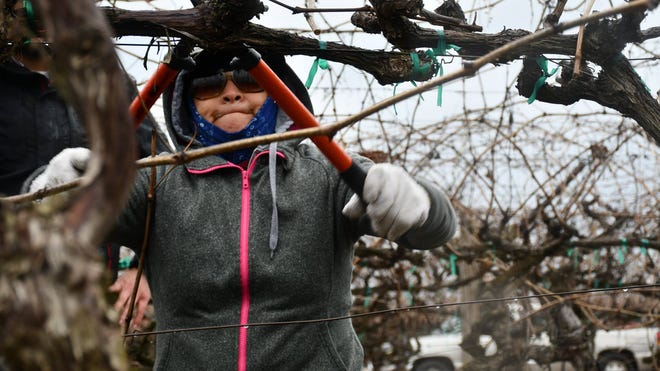 """Central Valley Farmworker Foundation members compete in the """"Central Valley Pruning Competition"""" earlier this month in Delano."""