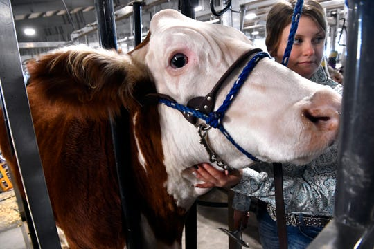 Kacie Coolman, a ninth-grade student from Merkel, calms her Hereford steer before Wednesday's steer show at the Taylor County Livestock Show Jan. 23, 2019.