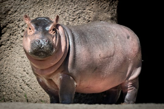 Fiona the hippo was born prematurely at the Cincinnati Zoo & Botanical Garden on Jan. 24, 2017. She is celebrating her second birthday today.