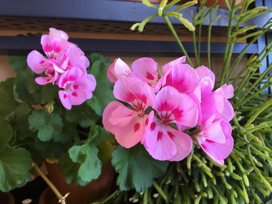 Judy's geraniums won't flower like the beauties as long as they remain inside, but they are still showing new growth.