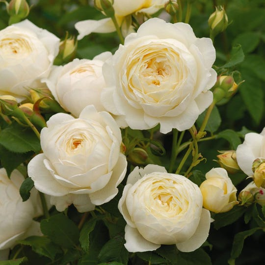 David Austin Roses are known for their combination of beauty and fragrance.