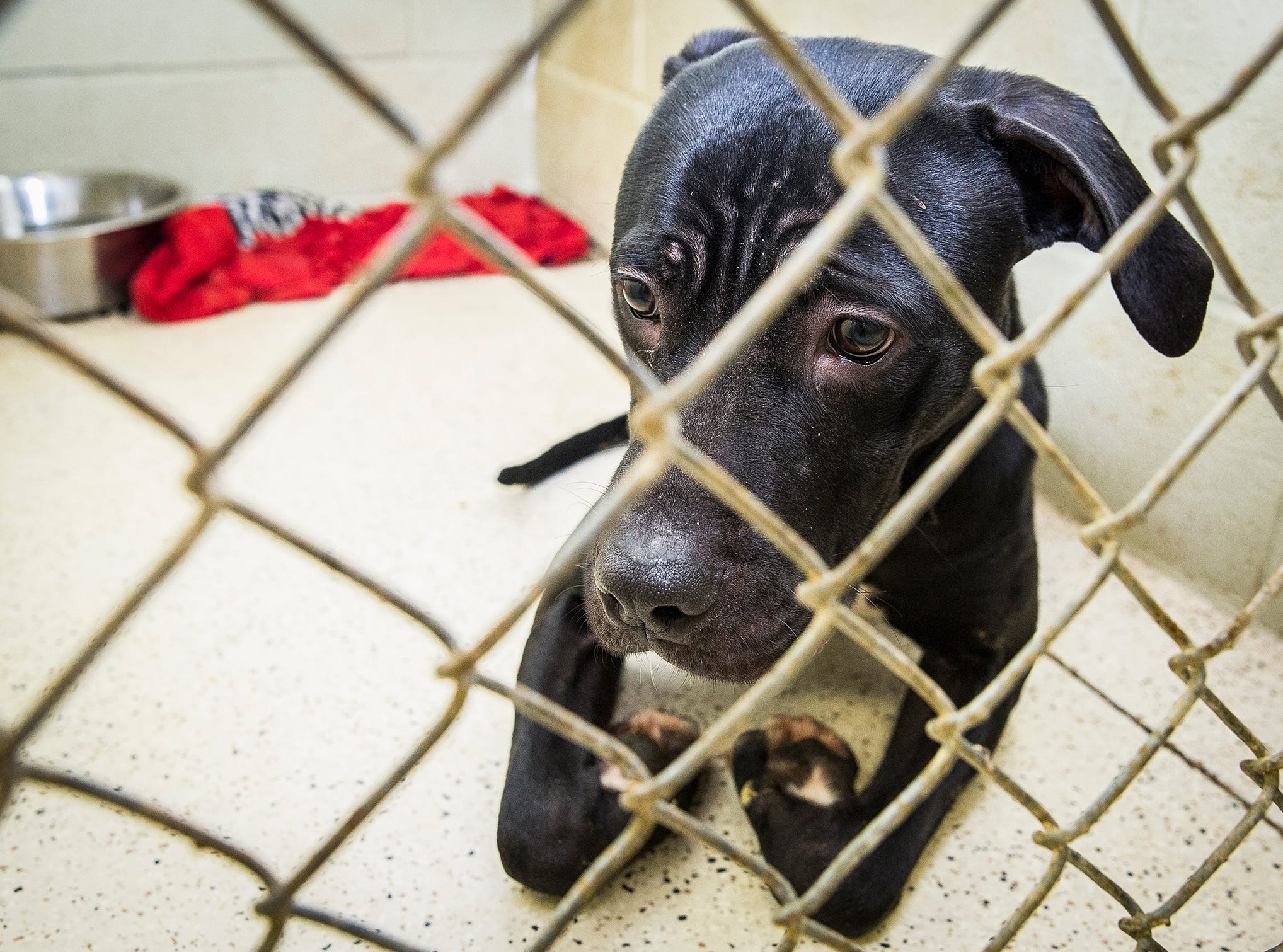 Dozens of dogs and cats are available for adoption at Muncie Animal Care and Services on Riggin Road. According to shelter staff, the facility is at capacity for dogs.