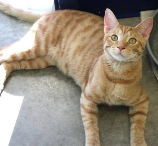 Cheddar is a neutered male, 7-month-old, Domestic Shorthair mix.