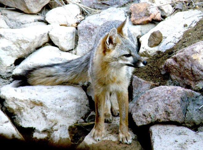 """Reynard, a grey fox, a other animals caught on camera will be featured in """"Critters We Have Known,"""" the FeVa Fotos February show at the MRAC gallery."""