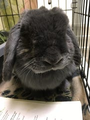 Guapo, a black rabbit, is sure to catch your eye. Guapo is litter trained and likes getting out of his cage to hop around the house.