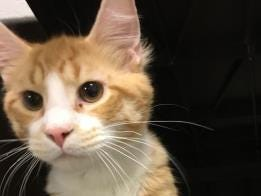 Simba is looking for his fur-ever home. He is a one-year-old, Longhair mix. Call the Adams County SPCA at 717-334-8876 for information.