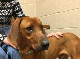 Want to adopt Spruce? He is a Coonhound, Redbone Mix and is  2 years old. Call the Adams County SPCA at 717-334-8876 for information.
