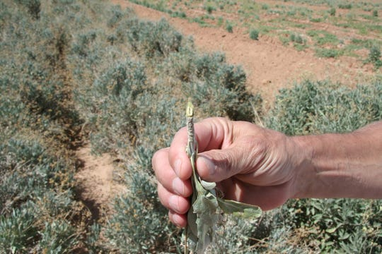 A close-up of guayule, a desert plant that can be used to make rubber, on a test plot in Pinal County.