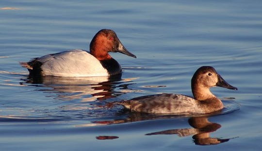 Canvasback ducks. The Blue Water Audubon Society is offering folks thechance for some guided bird watching during the Winter Bird Blast on Feb. 8.