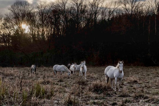 The Broadfoot herd is bathed in early morning light.