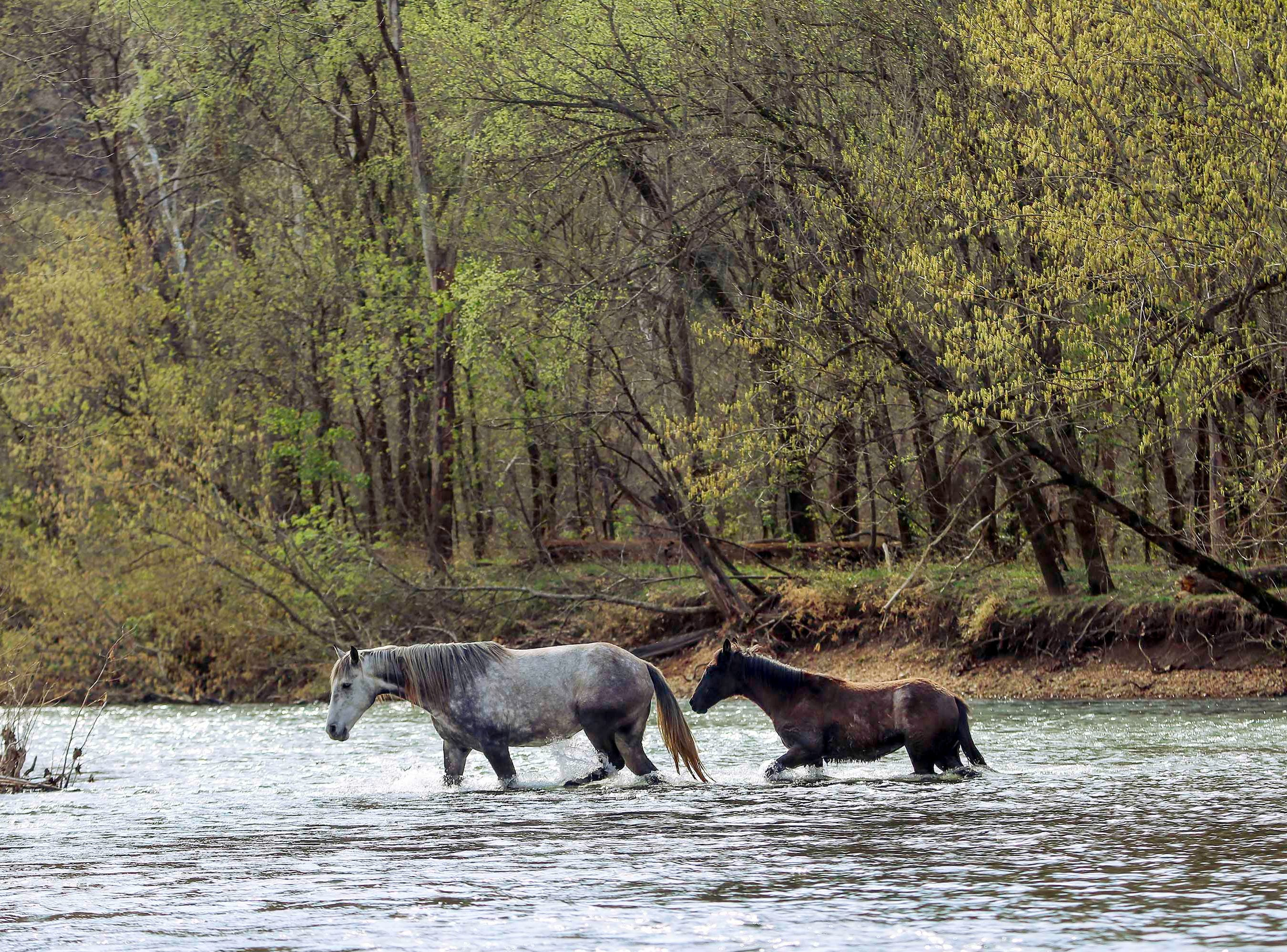 Herds of wild horses have roamed Shannon County since the Great Depression. A Shawnee Creek mare and her foal cross the Jacks Fork River.