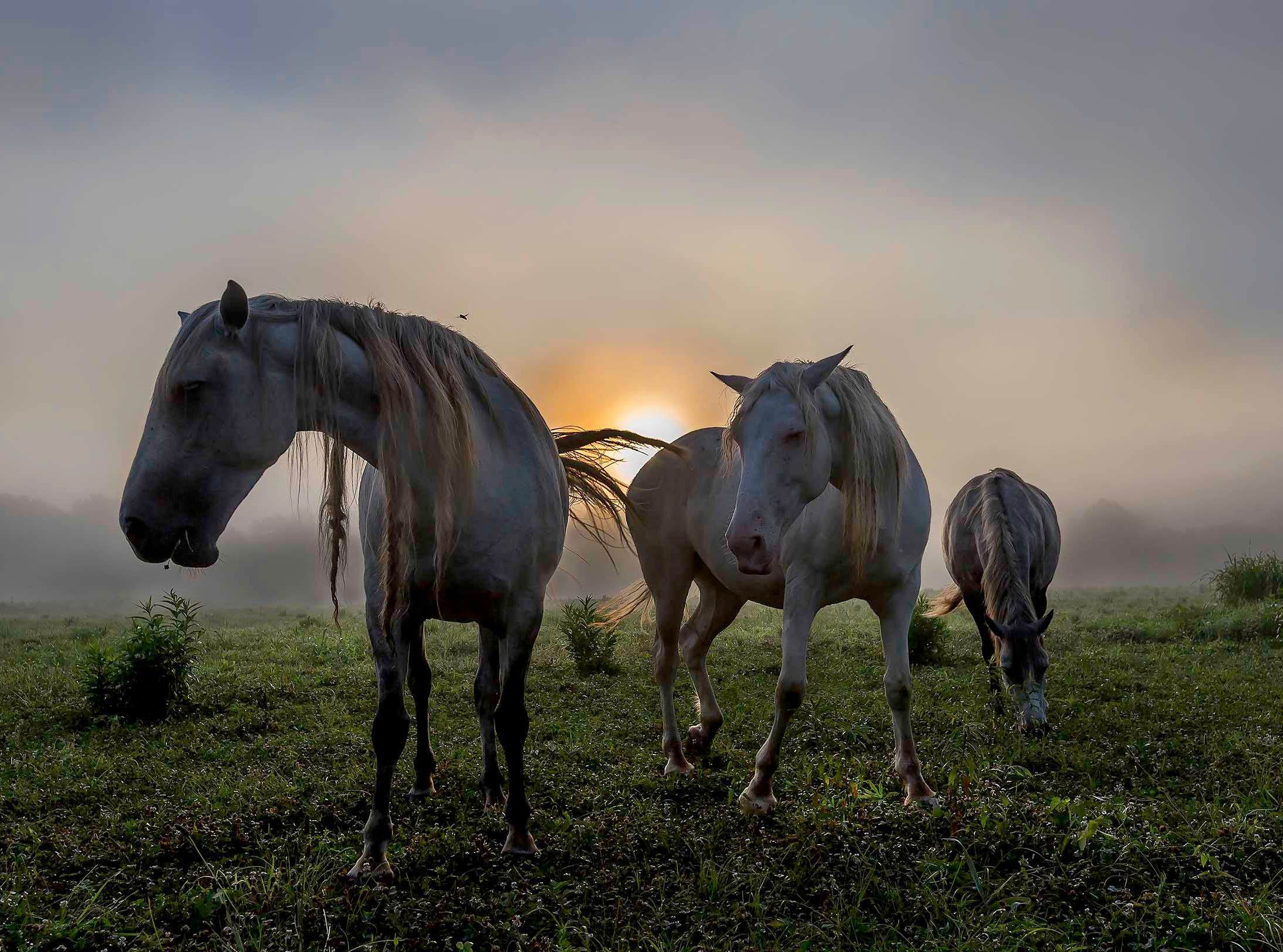 Horses in the Shawnee Creek herd graze as the sun rises.