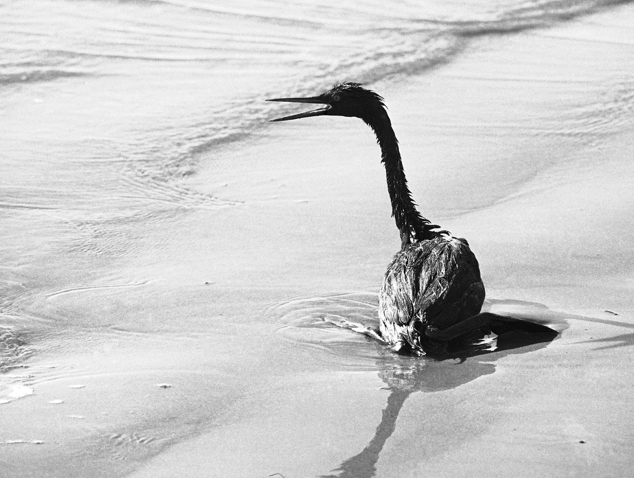 FILE - In this April 11, 1969, file photo, a Grebe in seen on a beach in Santa Barbara, Calif.  An oil slick stretched across 9 miles of coastal waters Thursday, May 21, 2015, after a pipeline rupture spilled thousands of gallons of crude just north of Santa Barbara, along the same stretch of coastline as the 1969 spill. (AP Photo/Wally Fong,File)