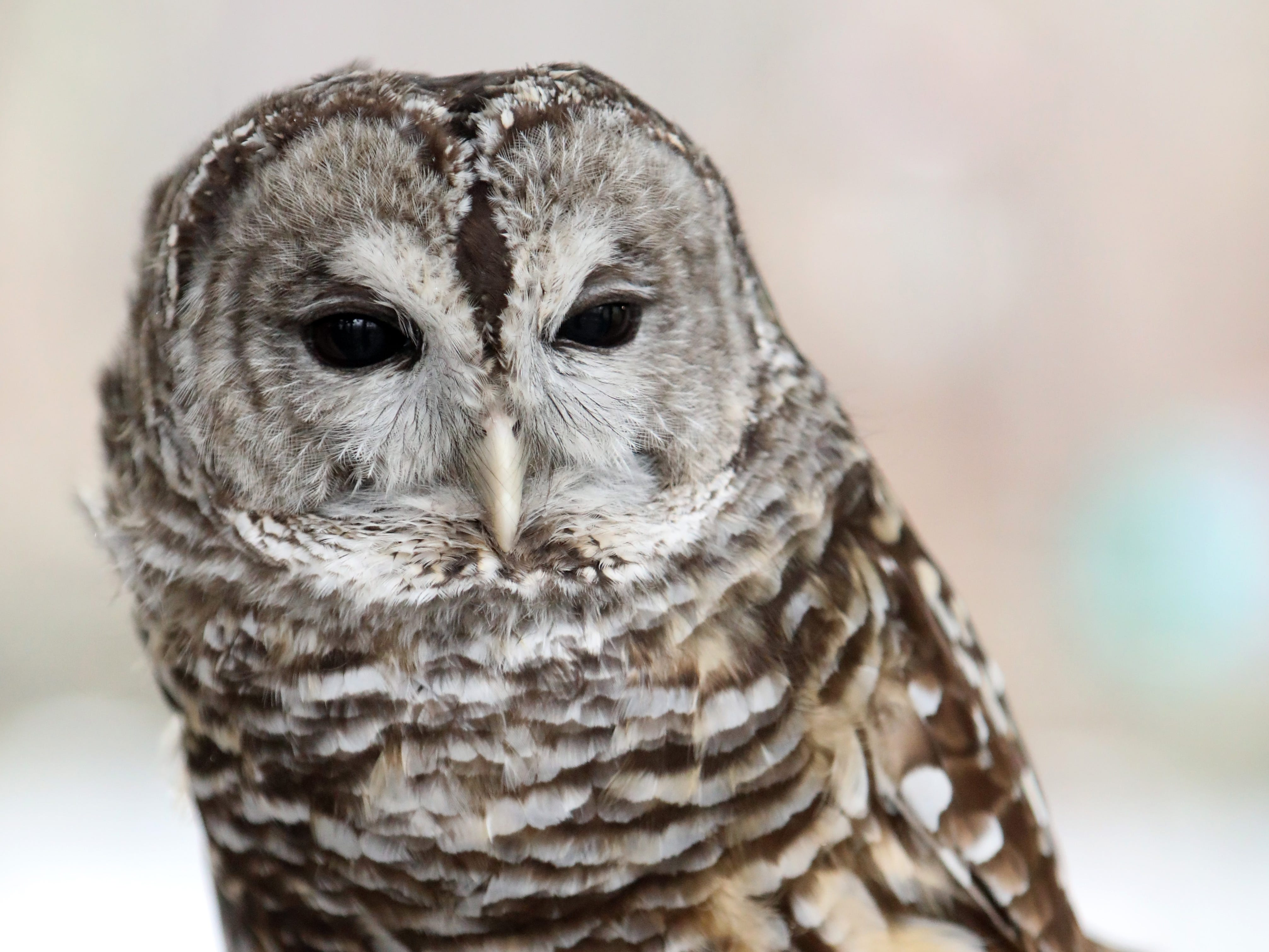 Nova, a barred owl, at Teatown Lake Reservation in Ossining helps introduce EagleFest Jan. 24, 2019. The environmental education center announced plans for its 15th annual Teatown Hudson River EagleFest, which will take place on Saturday, February 9 at Croton Point Park in Croton-on-Hudson to celebrate the return of the bald eagle to the Hudson River Valley.