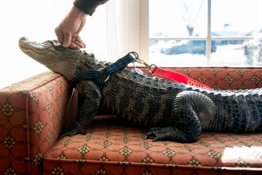 In this Jan. 14, 2019, photo Wally, a 4-year-old emotional support alligator, soaks up the sun while his owner, Joie Henney, rubs his head at the SpiriTrust Lutheran Village in York, Pa.  Henney says he received approval from his doctor to use Wally as his emotional support animal after not wanting to go on medication for depression. (Ty Lohr/York Daily Record via AP)