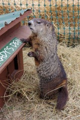 WNC has plenty of groundhogs, but it's hard to know if we have a higher population than other states.