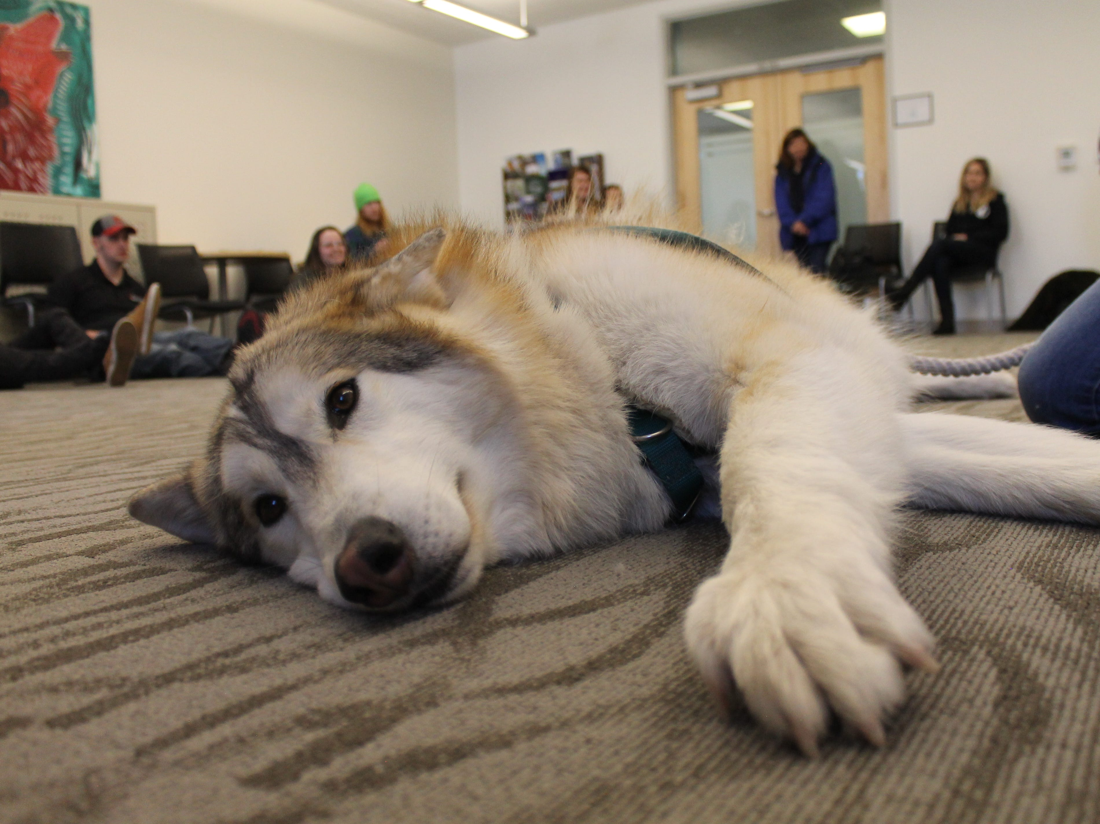 Takota, a wolf dog, looks around before closing his eyes for a quick nap at Front Range Community College Friday.