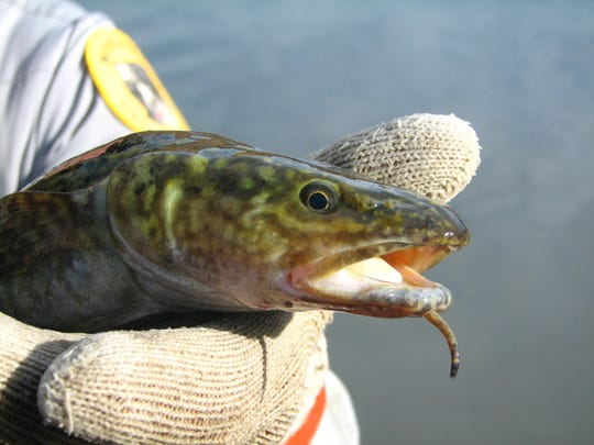 Burbot, a cold-water species, are more active in the winter than summer.