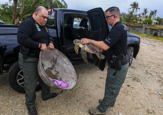 Department of Agriculture Conservation Officer Nathan Rios, left, and Lt. Mark Aguon, remove a green sea turtle from the rear seat of a pickup near the shore of Pago Bay on Friday, Jan. 25, 2019. The turtle, affectionately named Lourdes, after Gov. Lou Leon Guerrero, was seized by conservation officials after being found in a swimming pool at a home in Talofofo. The endangered sea turtle was released back into the ocean.