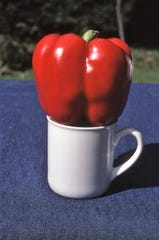 King Arthur is a large red bell pepper for the home garden. Large fruits turn red in mid-to-late September.