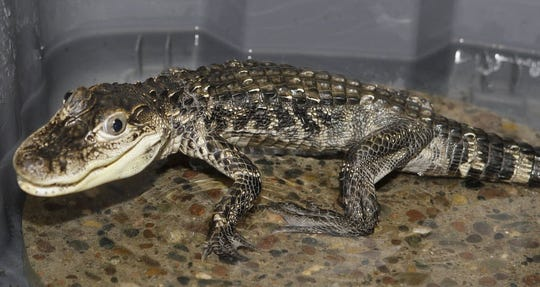 A young American alligator, one of dozens of reptiles and other animals seized from Terry Cullen July 2009.