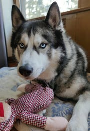 Odin, a 6-year-old Siberian Husky, fell through the ice on the Milwaukee River in Mequon on Jan. 24. He was rescued by the Mequon Fire Department.