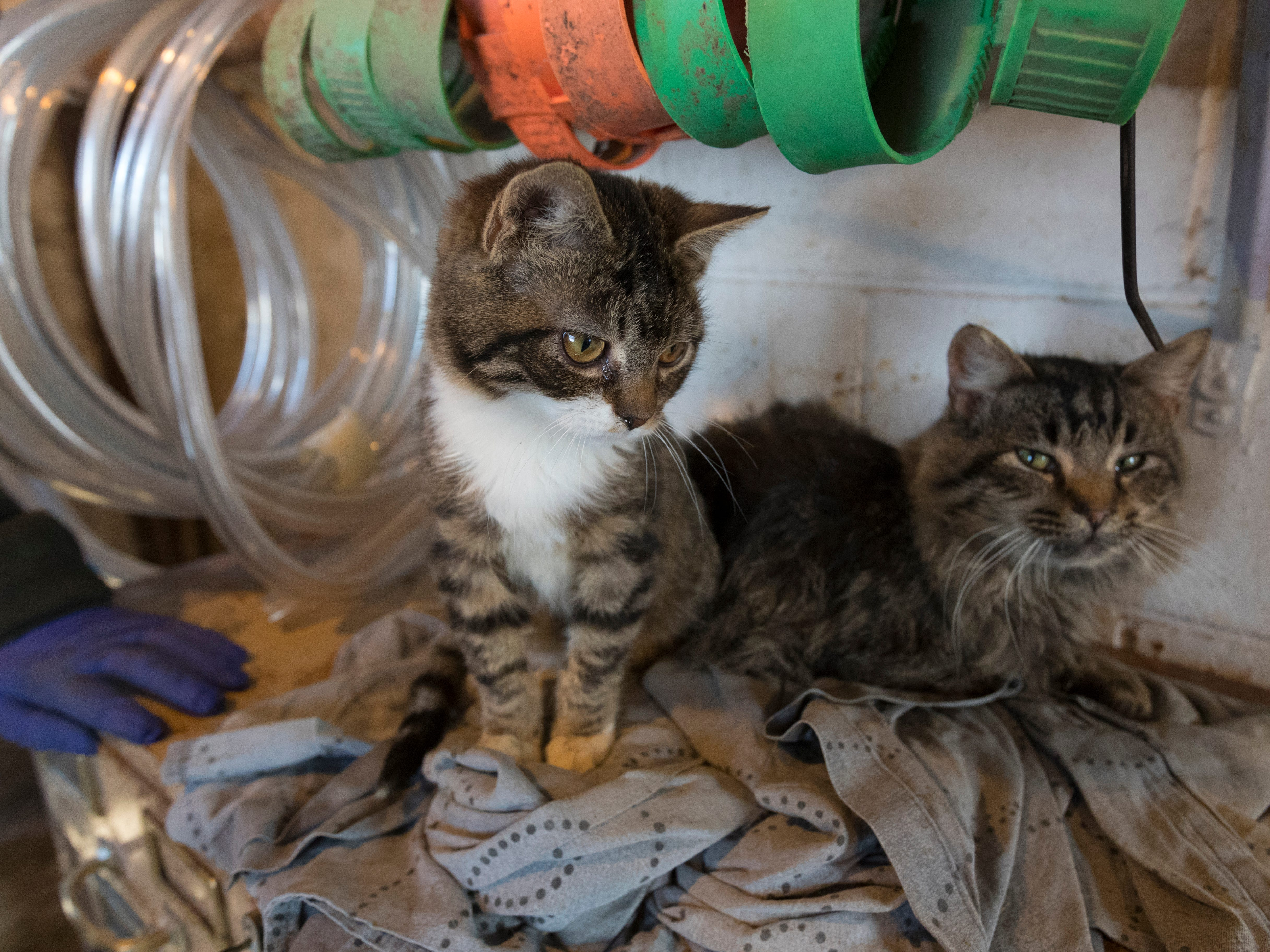A pair of barn cats hang out in the heated barn office.