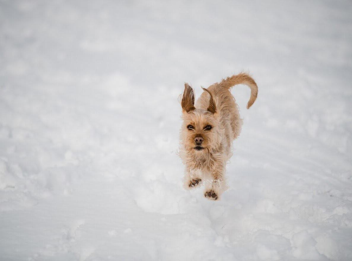 Sophie running and playing in the snow.