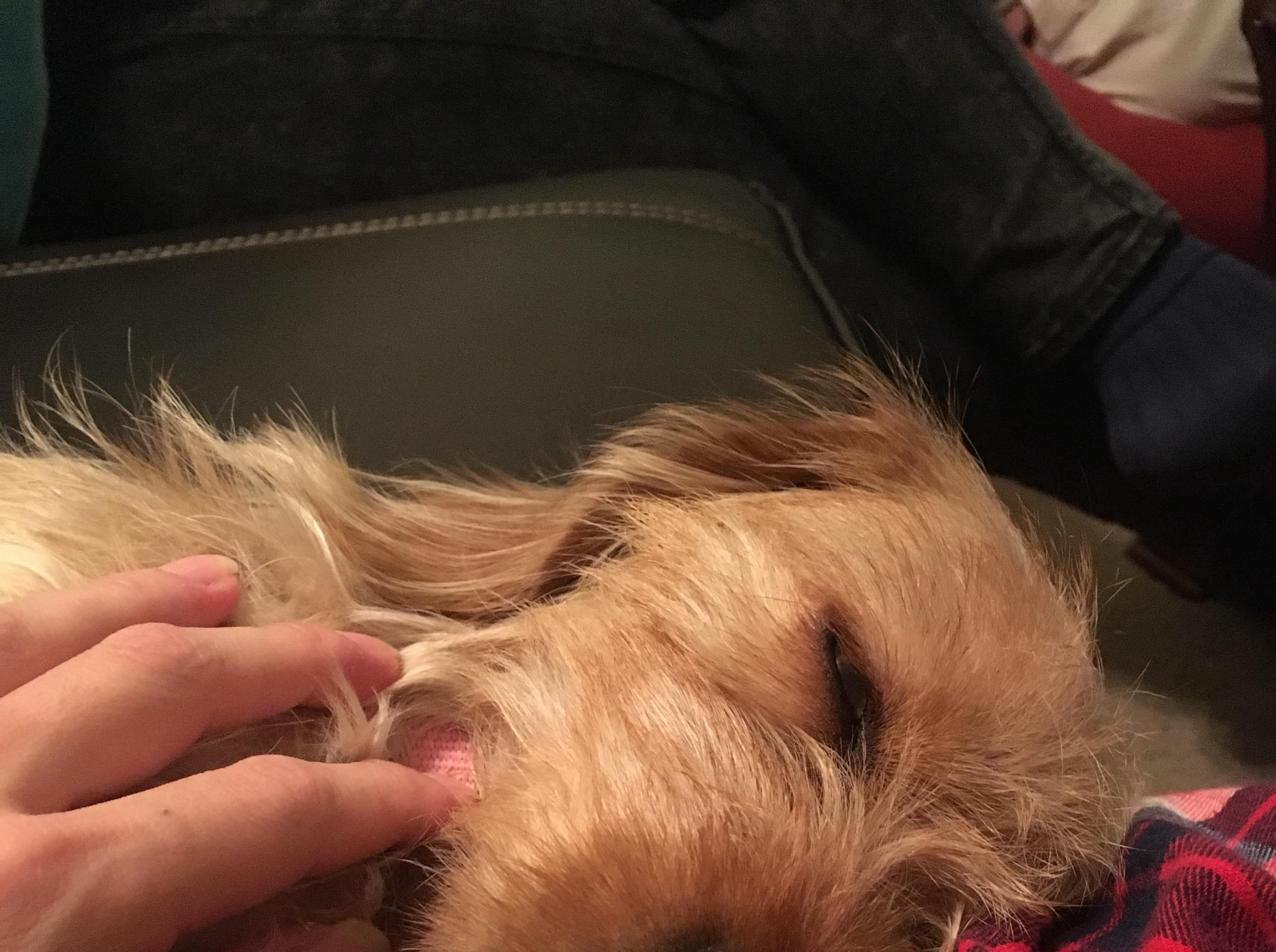 Sophie asleep on her owner, Ayaka Kaneko's lap.