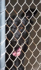 A dog at the Santa Rosa County Animal Shelter waits for adoption at the county-run facility on Friday, Jan. 25, 2019. The Santa Rosa County Commission approved funding for a new spay/neuter program aimed at reducing intake and euthanasia rates at the county-owned facility.