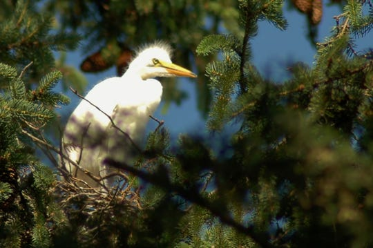 A young egret peers down from above.