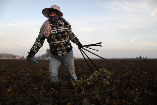 Mexican immigrant Vicky Uriostegui, who has lived in the U.S. for 27 years, hauls out water hoses at dawn on a farm in fields near Turlock, Calif. Agriculture is the main economic driver in the region and most field work is done by immigrants.
