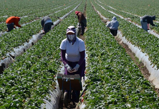 Workers harvest crops in 2013 by hand near Oxnard, Calif. While some farmers are turning to automation to save money, some crops, such as strawberries, require cultivation by human hands.