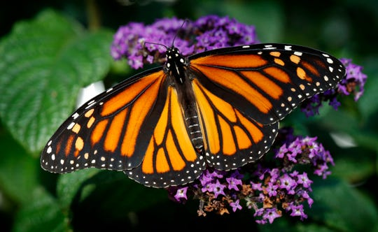 A free talk about Monarch butterflies and their relationship with milkweed plants will be given Saturday afternoon at the Audubon Museum.