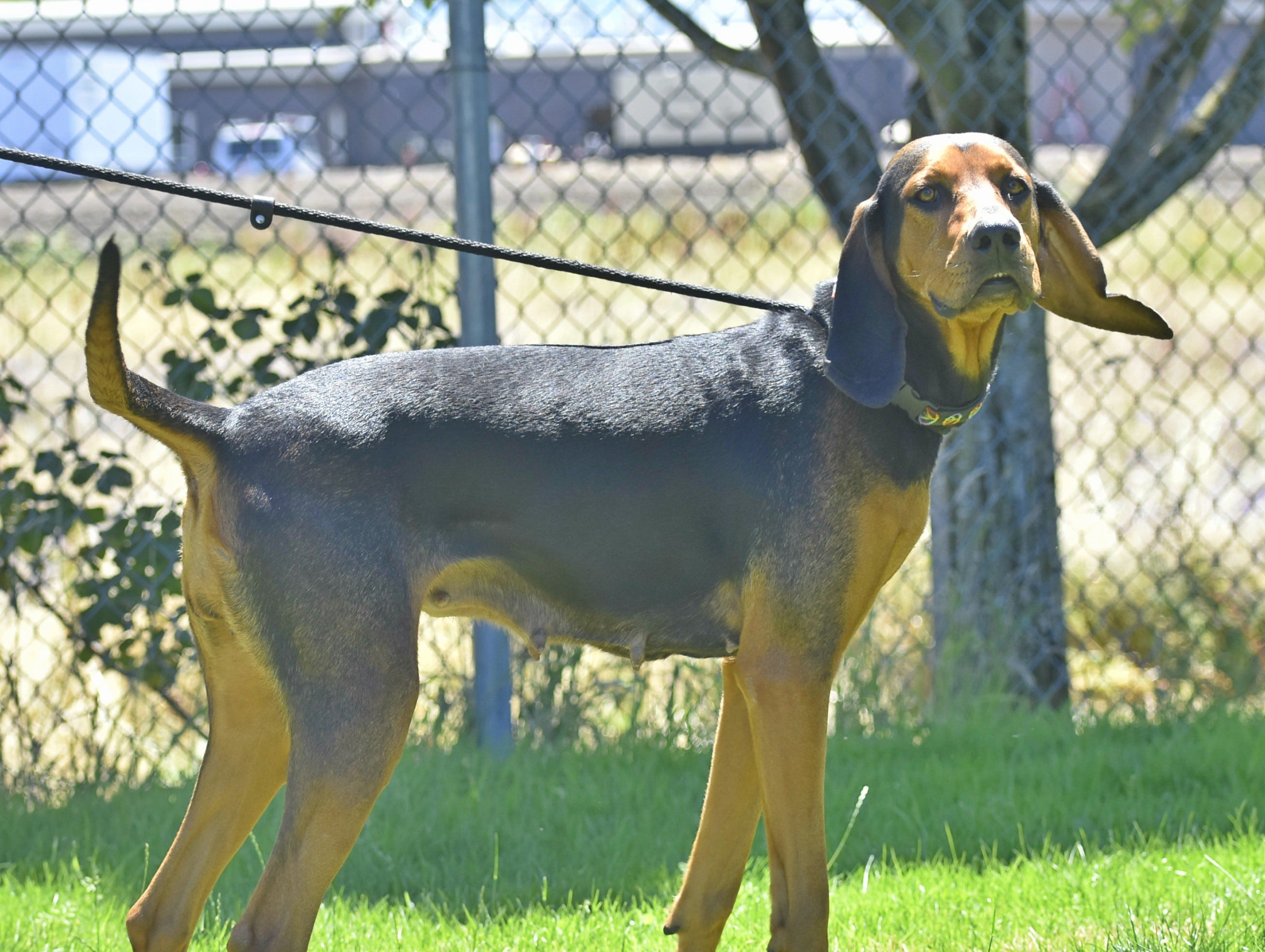 Dixie is a young adult female black and white Coonhound/Walker mix. She is a big puppy who gives slobbery kisses. Dixie loves playing with toys, going for jogs and hanging with dog friends. She has never met a person she didn't like. Contact Marion County Dog Services at 503-588-5366 or go to www.MCDogs.net.