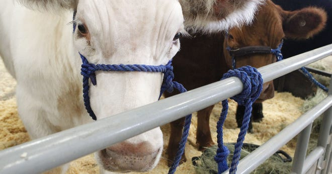 A familiar sight at the Tom Green Co. Fair and Junior Livestock Show in San Angelo.