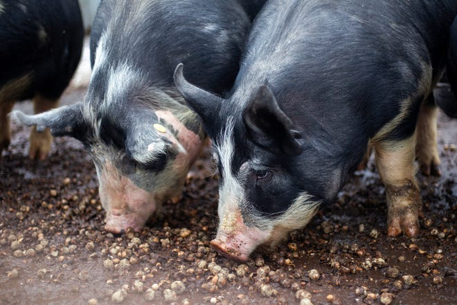 Pigs chew on acorns on Thursday, Jan. 17, 2019, at Natural Oak Pork farm in West Branch, Iowa. According to their website acorns add a rich, buttery flavor to the meat and also offers a sweetness no other nut can provide.